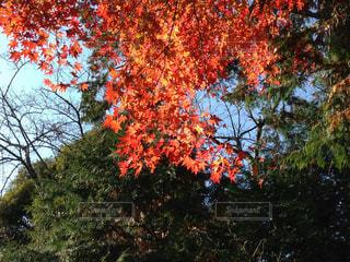 紅葉の写真・画像素材[1304797]