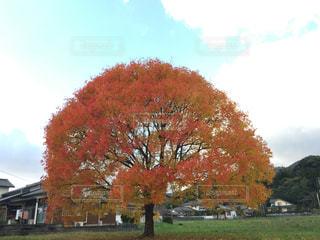 大きな木の写真・画像素材[1304799]