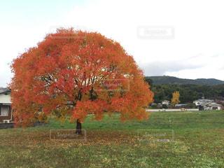 フィールドの大木の写真・画像素材[1304802]