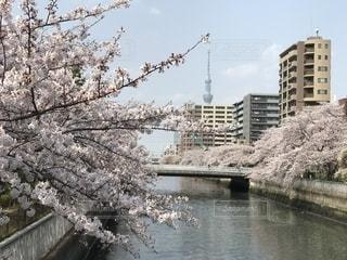 桜とスカイツリーの写真・画像素材[2394364]
