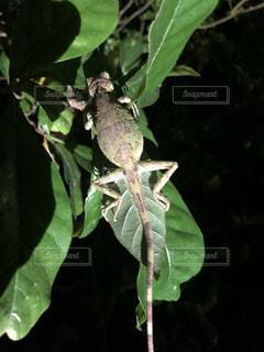 葉の上でおやすみ中の妊婦さんの写真・画像素材[1303719]