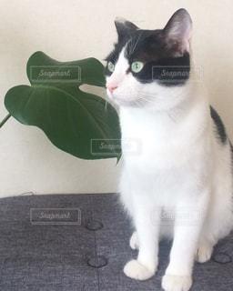 白い面の上に座って黒い猫の写真・画像素材[1305939]