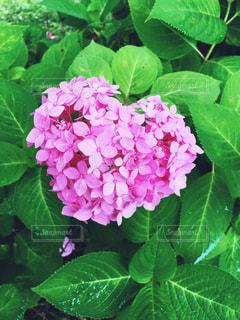 ハートの紫陽花の写真・画像素材[1322165]