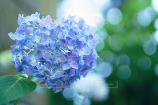 ハートの紫陽花の写真・画像素材[1337256]