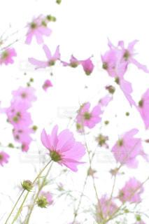 風に揺れるコスモスの写真・画像素材[1412129]