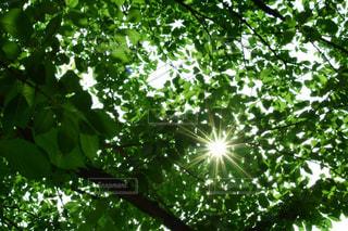 眩しい深緑の写真・画像素材[1412154]