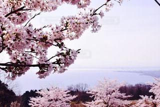 桜とびわ湖の写真・画像素材[1610012]