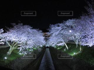 桜のライトアップの写真・画像素材[1610015]