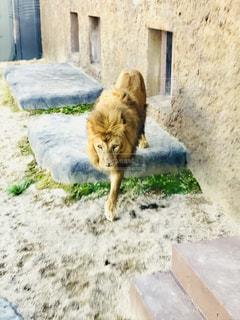 ライオンの写真・画像素材[1305359]