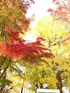 オフィス街の紅葉の写真・画像素材[1305385]