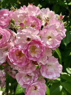 薔薇の花アップの写真・画像素材[1305389]