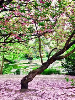 池の近くの桜の木の写真・画像素材[1310424]
