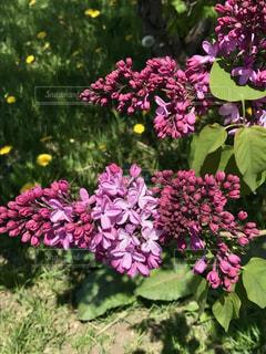 ライラックの花と蕾の写真・画像素材[1310469]