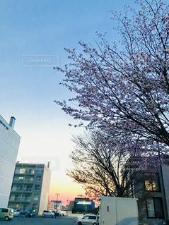 夕焼けと桜の写真・画像素材[1346956]