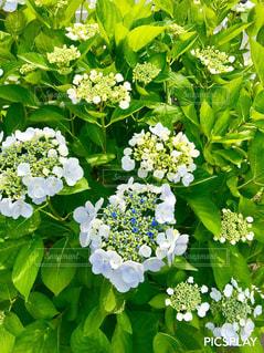 紫陽花の花の写真・画像素材[1346963]