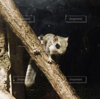 エゾモモンガの子供の写真・画像素材[1386247]