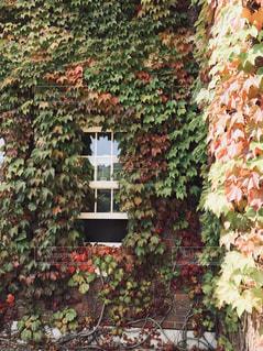 紅葉に覆われた窓の写真・画像素材[1490354]