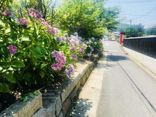 直島の紫陽花の写真・画像素材[1309710]