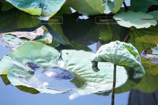 蓮の葉でお休みする亀の写真・画像素材[1306337]