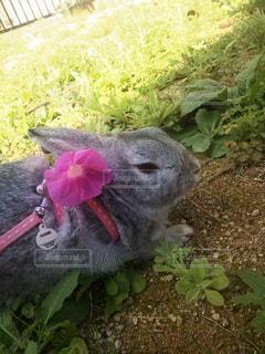 ミニウサギのぴーくんの写真・画像素材[1307211]