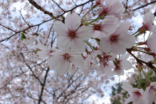 木の枝に花の花瓶の写真・画像素材[1313053]
