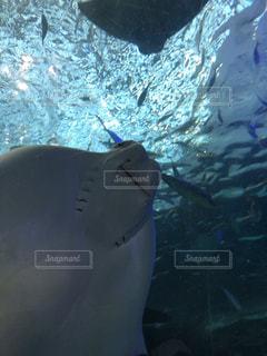 水面下を泳ぐ魚たちとエイの笑顔の写真・画像素材[1306680]