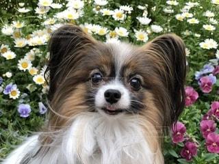 近くにピンクの花に犬のアップの写真・画像素材[1306937]