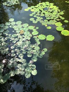 水面の睡蓮の写真・画像素材[1310997]