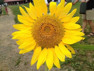 黄色の花の写真・画像素材[1307359]