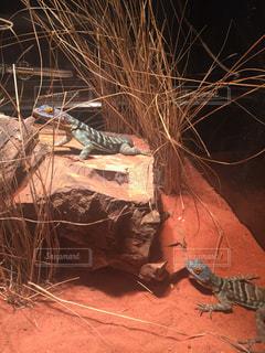 枝にトカゲの写真・画像素材[1308025]