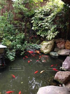 綺麗な鯉の写真・画像素材[1307856]