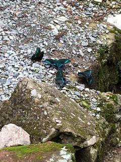 長野県の山に生息する蝶の写真・画像素材[1309219]