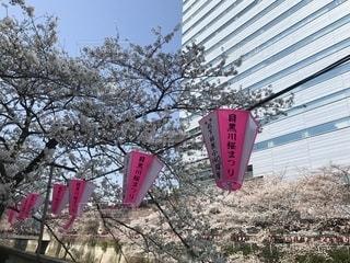目黒川沿いの桜並木とぼんぼりの写真・画像素材[1308158]
