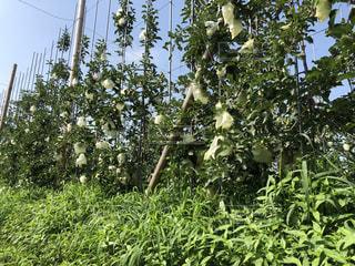 りんご園の写真・画像素材[1308262]