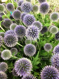 紫の花の束の写真・画像素材[1309091]