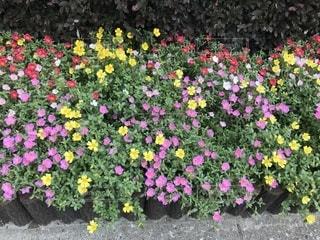 カラフルな花の植物の写真・画像素材[1311758]