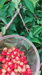 木にフルーツ バスケットの写真・画像素材[1309555]