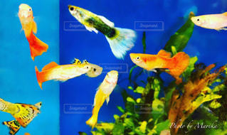 水の中を泳ぐ魚たちのグループの写真・画像素材[1361873]