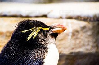 ペンギンの写真・画像素材[1440503]