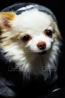 愛犬ラフィの写真・画像素材[1440750]