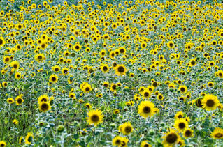 向日葵の写真・画像素材[1440862]