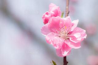 花桃の写真・画像素材[1858409]