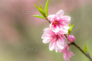 花桃の写真・画像素材[1858977]