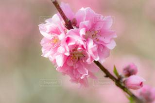花桃の写真・画像素材[1858978]