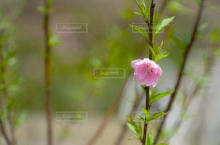 花桃の写真・画像素材[1859388]
