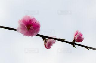 花桃の写真・画像素材[2025665]