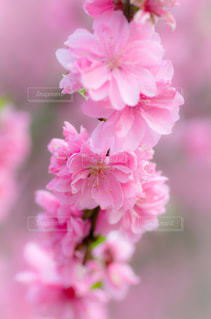 花桃の写真・画像素材[2025713]