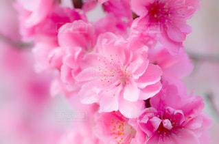 花桃の写真・画像素材[2025738]