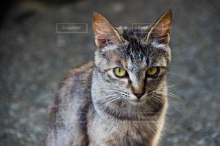 カメラを見ている猫の写真・画像素材[2225379]
