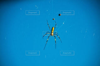 女郎蜘蛛の写真・画像素材[2687779]